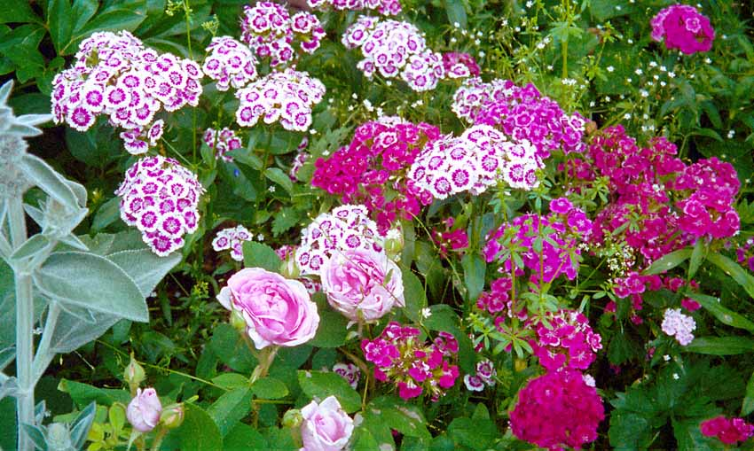 Romantisk harmoni skapas när den skära portlandrosen Madame Boll sällskapar med borstnejlikor, Dianthus barbatus, i olika nyanser av rosa och vitt. I den vänstra kanten syns lammöron 'Big Ears'.