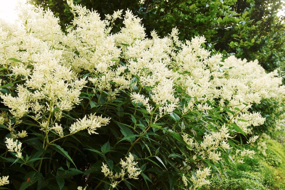 Finnslide, Aconogonon × fennicum