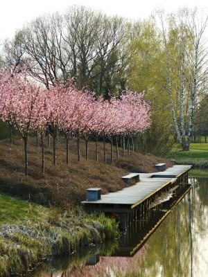 Rosablommande bergkörsbär gör vandringen längs Åpromenaden till en minnesvärd upplevelse i början av april. Våren är huvudsakligen de vedartade växternas och lökarnas tid i Enköping medan merparten av perennerna blommar från högsommaren och framåt.