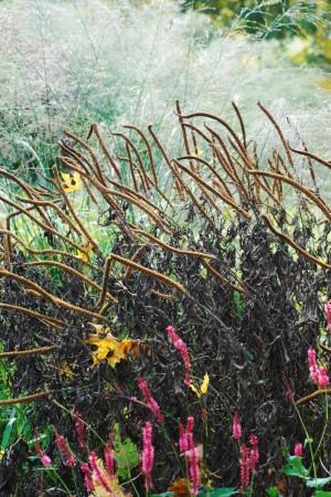 Vissa formkombinationer kan få en att tappa andan. Kransveronikans, Veronicastrum virginicum 'Spring Dew', utblommade spiror ser ut som långa krokiga cigarrer mot skyn. Bakom kontrasterar gräset, Molinia caerulea ssp. arundinacea 'Transparent'. Längst fram syns blodormroten, Bistorta amplexicaulis 'Firetail' ännu  rödrosa fast det är i mitten av oktober. Drömparken.