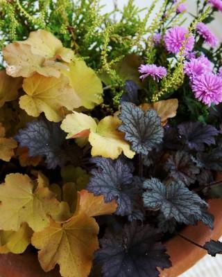 Alunrot, Heuchera 'Caramel' och rödbladig H. 'Frosted Violet'