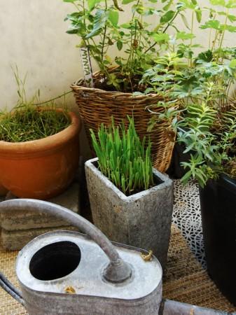 Krydd- och köksväxter går utmärkt att odla i kruka. Fransk dragon.