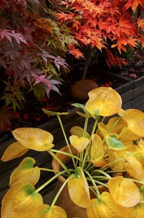 Funkia i läcker höstfärg framför stora avlånga planteringslådor med japanska lönnar, Acer palmatum 'Osakazuki',