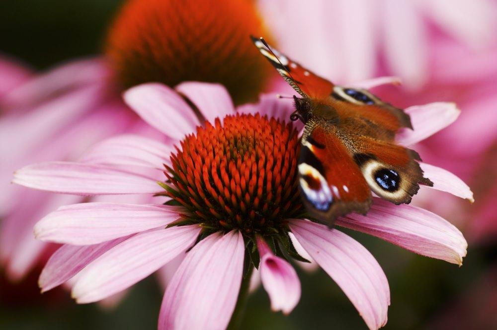 Röd rudbeckia 'Magnus' är en riktig fjärilslockare. Den finns i många exemplar och även i vita sorter i Enköpings parker som kan ståta med flera hundra olika sorters perenner. En rik inspirationskälla att ösa ur för alla som vill göra sin trädgård vackrare.