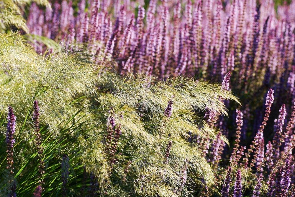 Silvergräs, Stipa calamagrostis
