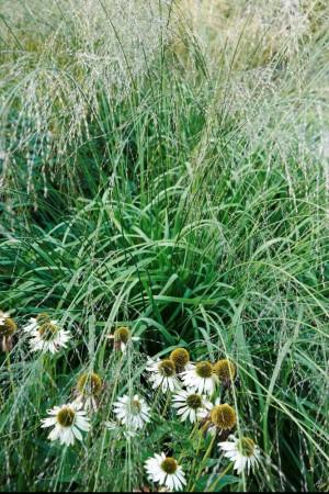 Jättetåtel, Molinia caerulea ssp. arundinacea 'Transparent', växer på ett helt annat, och för arten mer karakteristiskt, sätt än 'Windsäule'. I bilden breder den ut sig som ett halvgenomskinligt draperi över rudbeckian, Echinacea purpurea 'Green Edge'