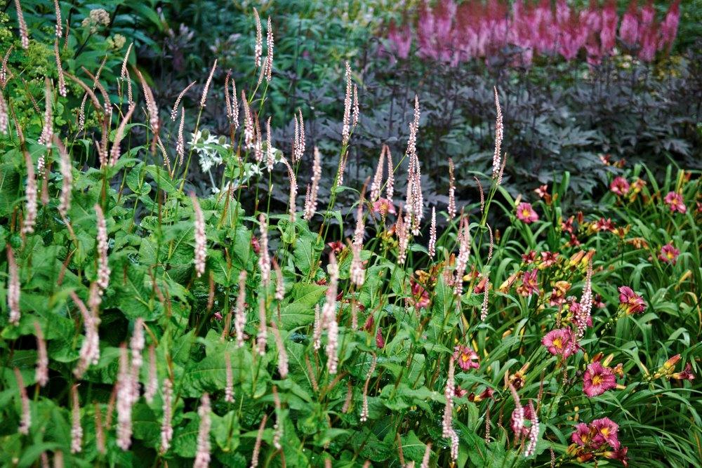 Blodormrot, Bistorta amplexicaulis 'Rosea', Actaea simplex 'James Compton', stor plymastilbe, Astilbe chinensis var. taquetii 'Purpurlanze'. daglilja, Hemerocallis 'Little Grapette'