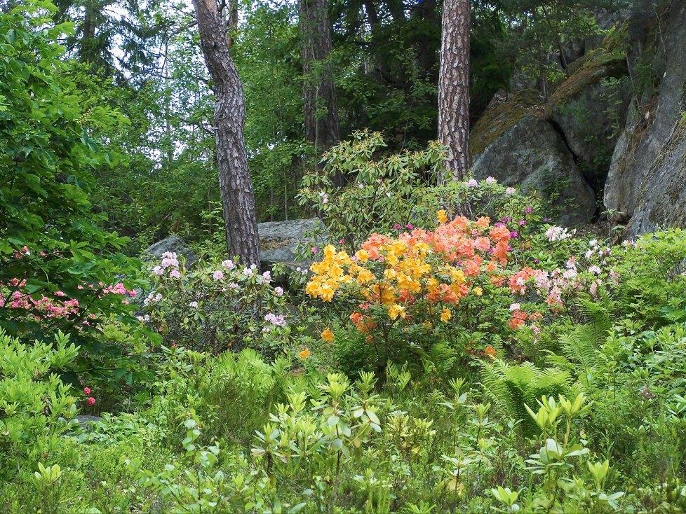 Många surjordsväxter trivs utmärkt i skogsmiljö. Mellan stenblocken och trädstammarna i utkanten av Karin Wilhelmssons trädgård i Vidja, strax söder om Stockholm, frösår sig azaleor och rododendron i så stora mängder att hon är tvungen att rensa bort en del. Övergången mellan skog och trädgård är flytande.