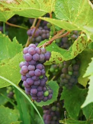 Täta klasar av blånande vindruvor, Vitis vinifera 'Nordica', pryder trädgården i oktober. Tyvärr kräver den här sorten en god sommar för att hinna mogna i tid före frosten.
