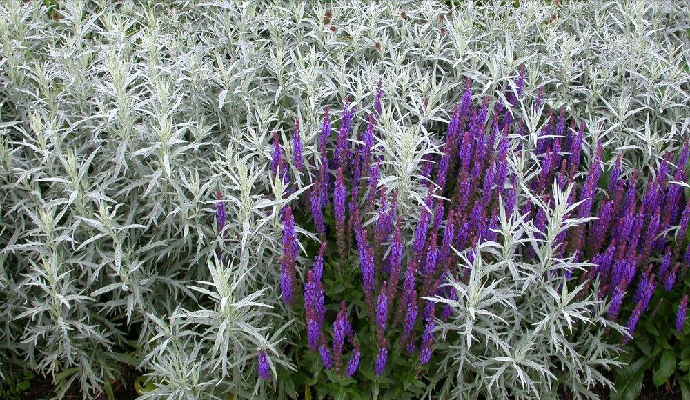 Vitmalört, Artemisia ludoviciana 'Silver Queen' och Stäppsalvia