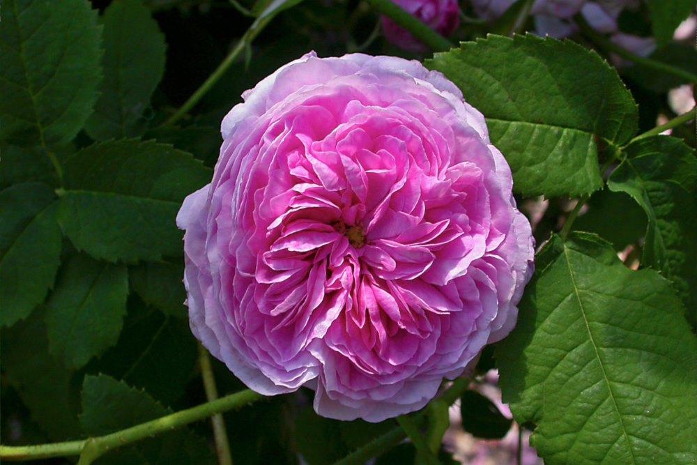 Gallicaros, Rosa Aimable Amie'