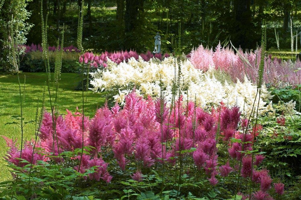 Astilbe i stora fält som här på Solliden blir imponerande maffigt, inte minst i några olika färger. I och med att alla går i nyanser av rosa, rött och vitt är det enkelt att hitta sorter som matchar varandra och ger harmoniska färgkompositione