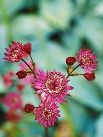Stjärnflocka, Astrantia major 'Ruby Wedding