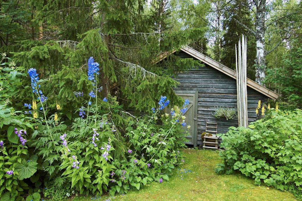Den charmiga gamla ladan i Cathrine Öhlunds Norrbotten trädgård omges av storvuxna, frodiga perenner som gullstav, riddarsporre och älggräs. Framför riddarsporrarna syns den bleklila något lägre hässleklockan, Campanula latifolia, och till höger om den återfinns den mer lågväxta praktbetonikan, Stachys macrantha. Den stora lavbeklädda granen förstärker sago boks känslan. Det fattas bara att ett skogstroll kliver ut ur ladan.