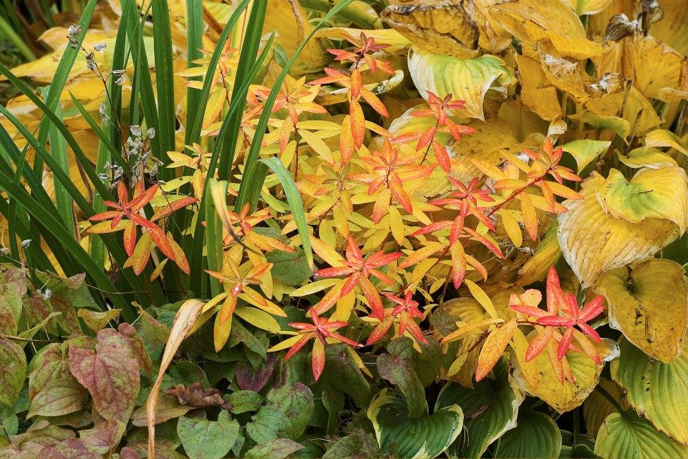 De sprakande färgerna som höstens pensel trollar fram hos gulltöreln ackompanjeras effektfullt av funkiornas krämgula, sockblommans tuffsigt rostiga och dagliljans fortfarande gröna blad.