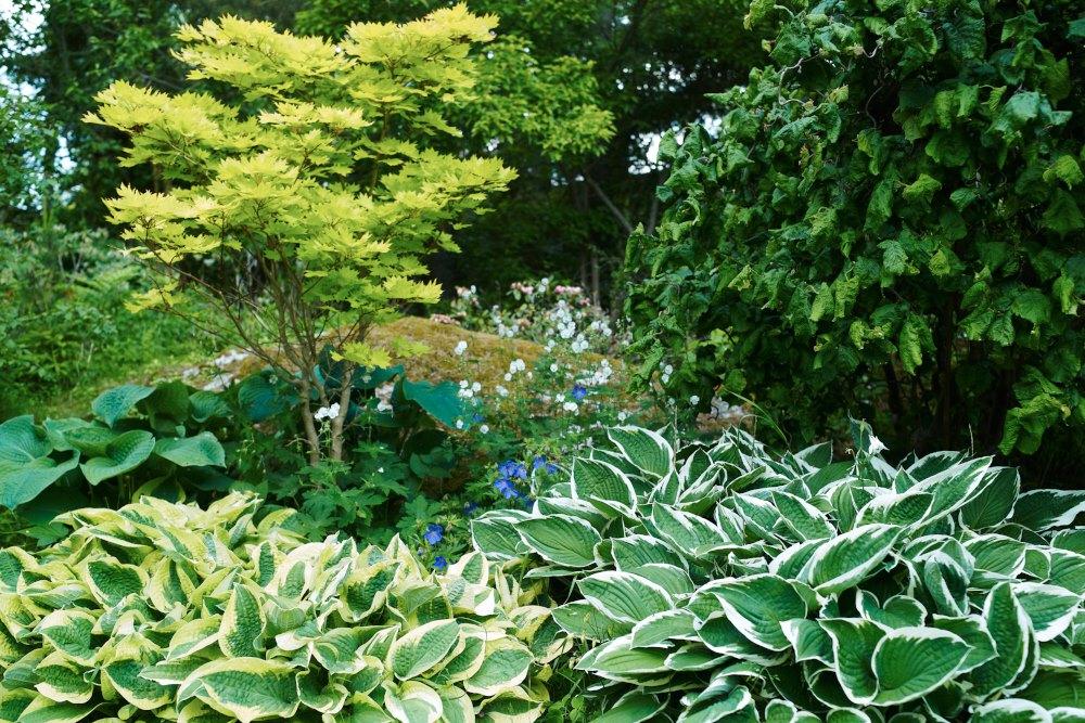Hosta 'Wide Brim', Hosta fortunei 'Francee', japansk gyllenlönn, Acer shirasawanum 'Aureum', daggfunkia, Hosta sieboldiana 'Elegans, ormhassel, Corylus avellana 'Contorta'.