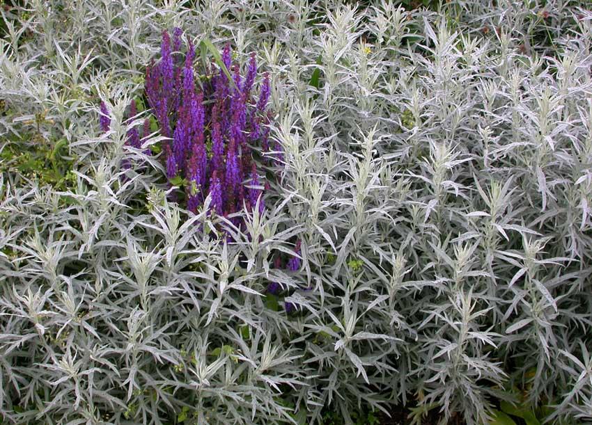 Salvians svala blålila färg står vackert mot malörtens gråsilvriga blad. Grått, silver och grönt kan med fördel användas för att binda ihop och lugna ner en färgkomposition.