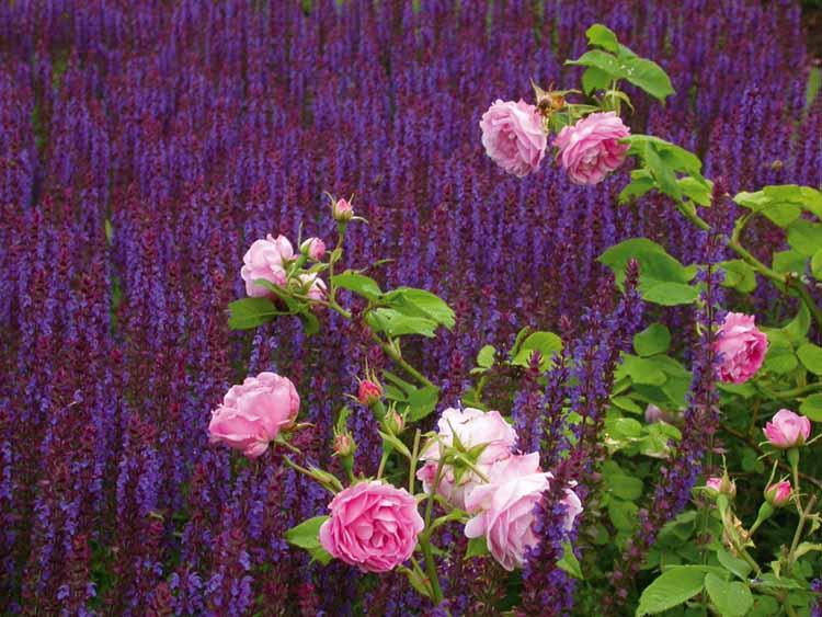 Ett sammanhängande fält med blå salvia i en klassiskt romanistisk kombination med rosa rosor