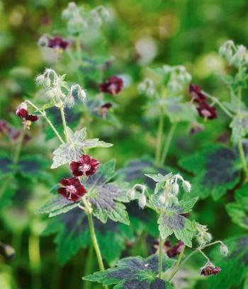 Brunnäva, Geranium phaeum