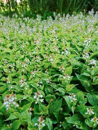 Häxört, Circaea alpina