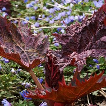 Röd flikrabarber, Rheum palmatum var. tanguticum 'Atropurpureum'