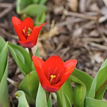 Näckrostulpan, Tulipa 'Showwinner'