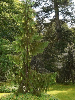 Hängcypress, Chamaecyparis nootkatensis 'Pendula'