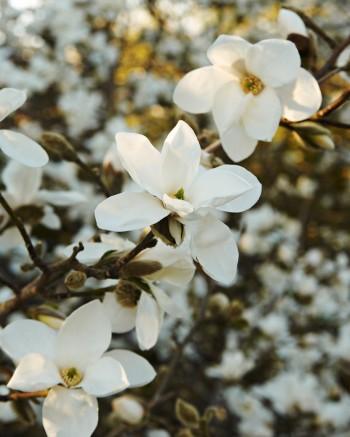 Japansk magnolia, Magnolia kobus 'Norman Gould'