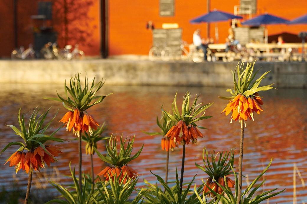 En nästan perfekt färgmatchning i lågt stående sol mellan kejsarkrona Fritillaria imperialis 'Rubra Maxima' på ena sidan Enköpingsån och byggnaden på den andra. Klosterparken i början av maj.