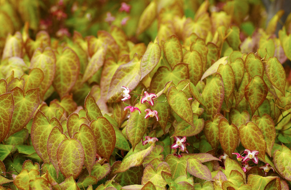 Röd sockblomma, Epimedium × rubrum