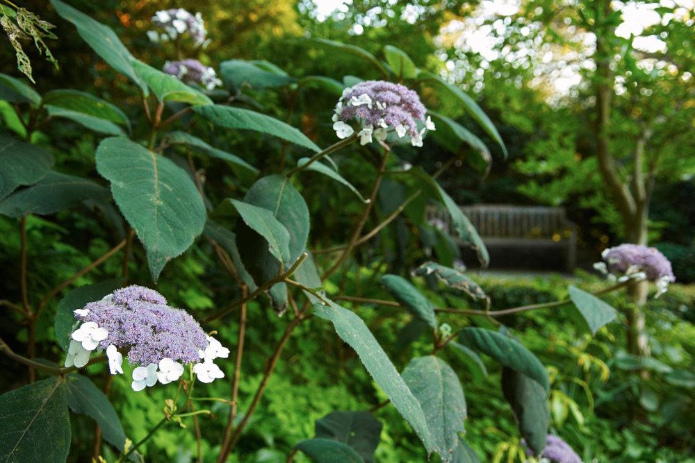 Sammetshortensia, Hydrangea aspera ssp. sargentiana