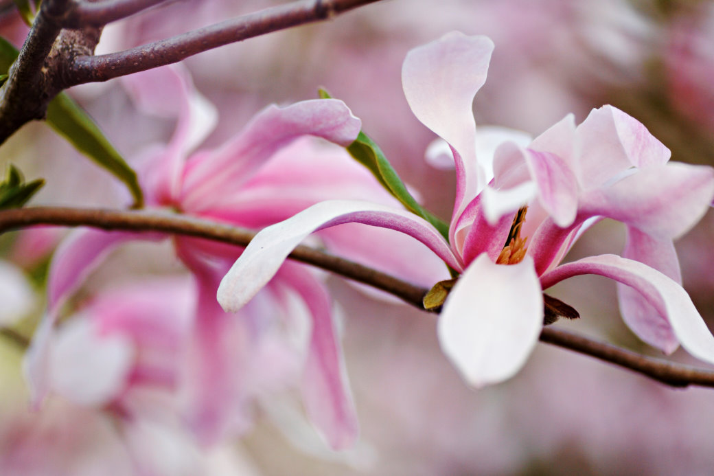Hybridmagnolia, Magnolia × loebneri 'Leonard Messel'