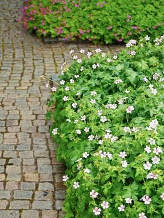 Kronnäva, Geranium x oxonianum, 'Rebecca Moss'