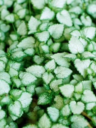 Rosenplister, Lamium maculatum