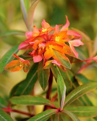 Eldtörel, Euphorbia griffithii 'Fireglow'