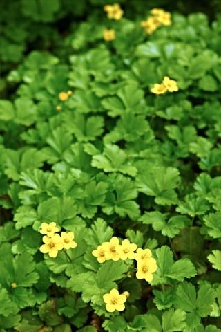 Waldsteinia, Waldsteinia ternata