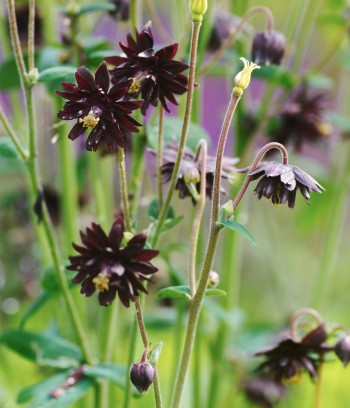 Stjärnakleja, Aquilegia vulgaris var. stellata 'Black Barlow'
