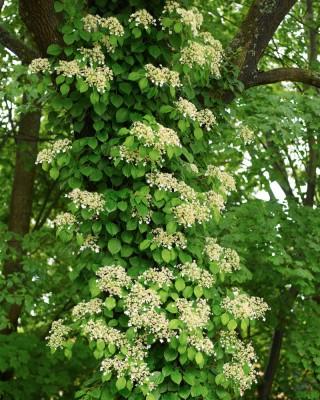 Klätterhortensia, Hydrangea anomala ssp. petiolaris