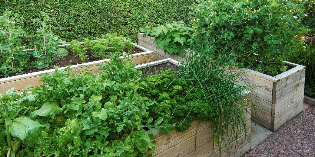 Uppbyggda odlingslådor gör ryggen glad. De här är 60 cm höga och har odlingsmåtten 290x100 cm respektive 235x60 cm.
