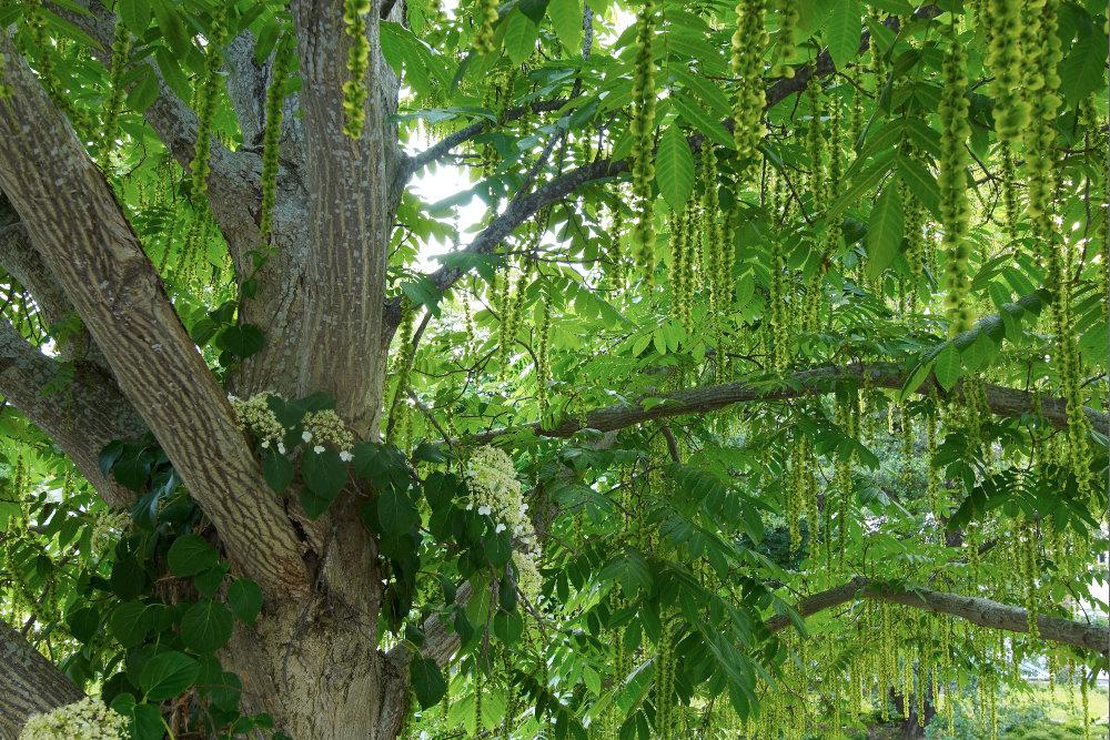 Kaukasisk vingnöt, Pterocarya fraxinifolia