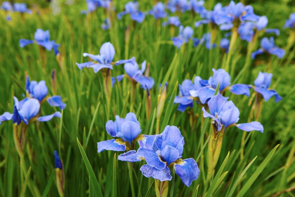 Rabattiris, Iris 'Silver Edge' som blommar bedårande i blått under juni. Irisar får effektfulla linjära blad. Vill växa i sol och blir ca 70 cm hög. Mycket härdig. C/c-avstånd: 35 cm. Blå trädgård.