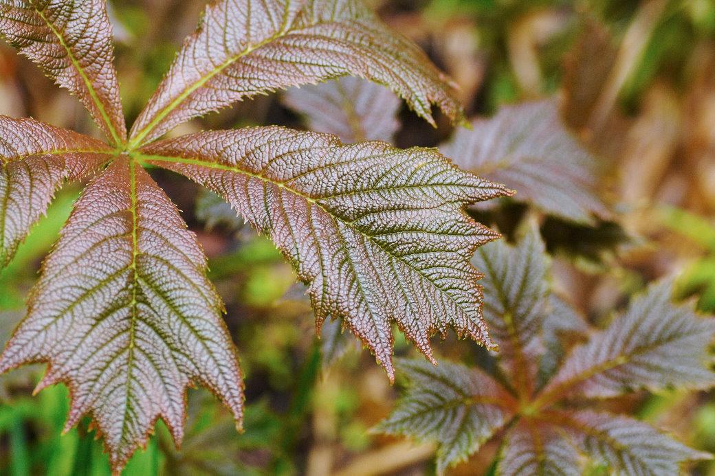 Bronsrodgersia, Rodgersia podophylla