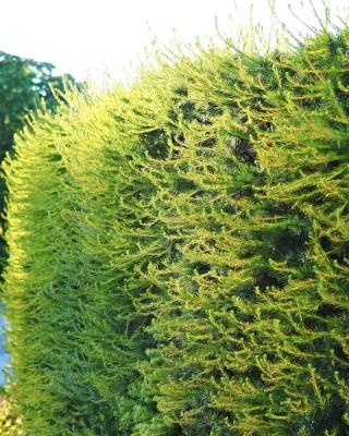 Hybridlärk, Larix × marschlinsii