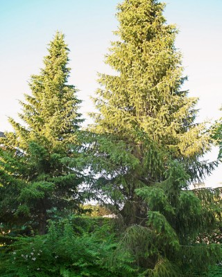 Serbgran, Picea omorika