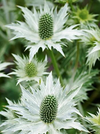 Silvermartorn, Eryngium giganteum