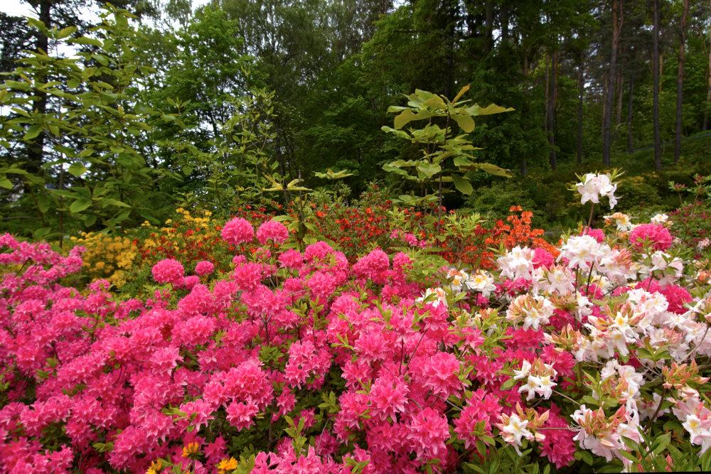 Rhododendron 'Rosy Lights' och 'White Lights'