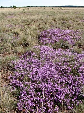 De kalkrika jordarna på Alvaret på Öland hör till de mest extrema jordar man kan hitta i Sverige. På dessa mycket alkalina jordar, där kalkstensberggrunden ofta finns strax under markytan eller till och med sticker upp ur marken, är floran helt anpassad till förhållandena. Kuriöst nog finns också vissa kalkfattiga torrbackar med sur reaktion och helt avvikande vegetation. På bilden skiftar Alvaret i violett av blommande vild timjan.