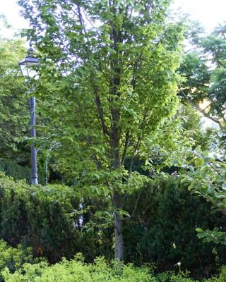 Pelaravenbok, Carpinus betulus 'Frans Fontaine'
