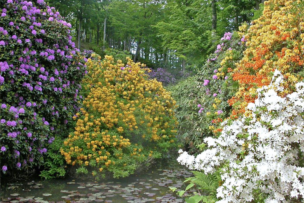 I Sofieros dalgångar trivs humusälskande surjordsväxter. Rododendron och azaleor blommar vildsint på våren. Jorden har sedan långt tillbaka blivit både humusrik och försurad av de nedfallande löven från främst bok. I den sluttande terrängen är vattenavrinningen god och den kalla luften sveps undan. Trädkronorna skyddar mot för stark sol och kyla. En närmast idealisk miljö för Rhododendron-arter.