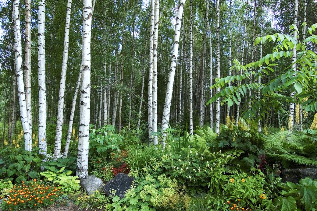 Kan en trädgård kännas mer typiskt svensk än när perennerna smyger sig in bland vita, vackra björkstammar? Hos Cathrine Öhlund i Rosvik i Norrbotten har en imponerande övergång mellan trädgård och skog skapats. Här finner vi en ljuvlig blandning med bland annat perenna spirstånds, gullstav, jättedaggkåpa, strutbräken och trädgårdsiris samt ettåriga tagetes och sommarrudbeckior. Till höger skymtar det exotiska bladverket hos en manchurisk valnöt, Juglans mandshurica.